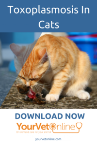 Toxoplasmosis-in-cats-is-it-dangerous-for-pregnant-women