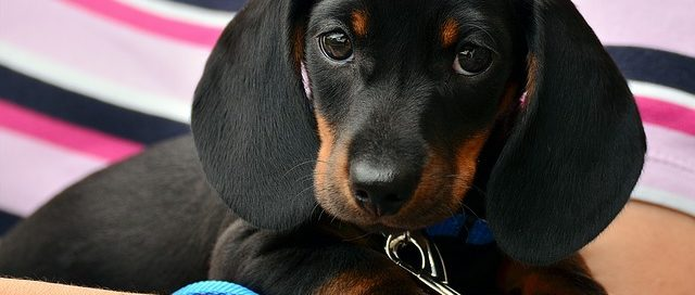 pros and cons of desexing your pet