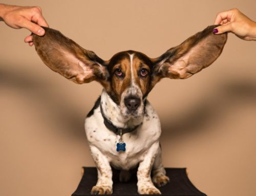 Dog Ear Infections – Learn How To Treat & Prevent